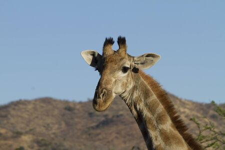Close-up of giraffe head in Pilanesberg national park, South Africa