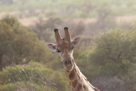 Close-up of giraffe head, looking straight into camera, in Pilanesberg national park, South Africa