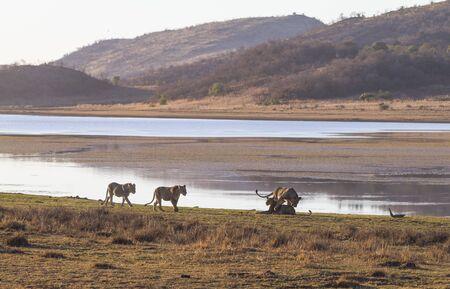Juvenile lions playing and walking along shore of Mankwe Dam lake in Pilanesberg national park in South Africa