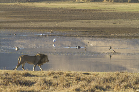 Maile lion walking solo along shore of Mankwe Dam in Pilanesberg, South Africa