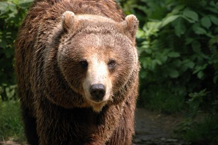 Typical brown bear in Poland. Bear in famous Wroclaw ZOO.