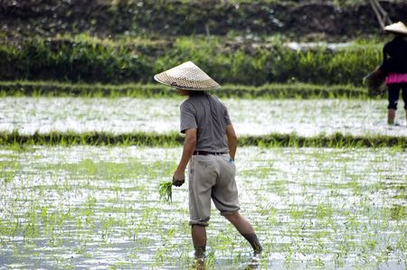 Rice fields in China, Guilin city, Yangshou town - farmers working in wet rice field. photo