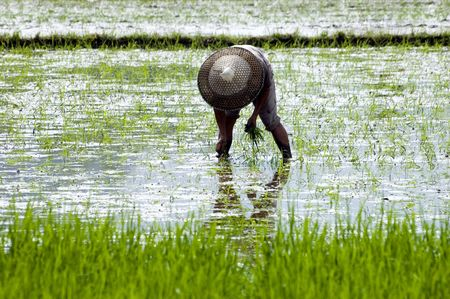 Farmer working in wet rice field in China, Guilin city, Yangshou town. photo