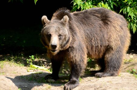 with no one: Single brown bear walks in Wroclaws ZOO, Poland. No one can approach near this dangerous mammal.