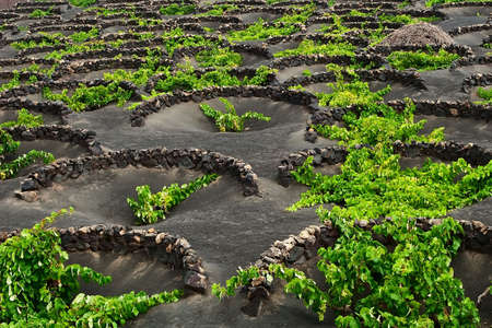 lanzarote: A vineyard in Lanzarote growing on volcanic soil. Stock Photo