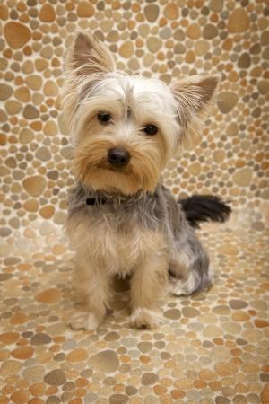 puppy Yorkshire Terrier photo
