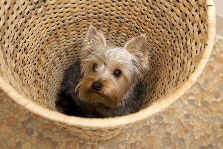 yorke: puppy Yorkshire Terrier