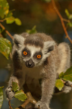 catta: ringstaart maki, lemur catta
