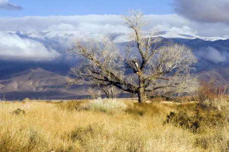 Bare tree, golden in winter, in the Eastern Sierra of California Stock Photo