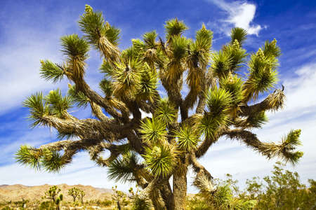 Joshua Tree in national park near Palm Springs, CA Stock Photo - 2024941