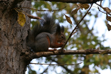 Squirrel sits on a branch and gnaws nuts
