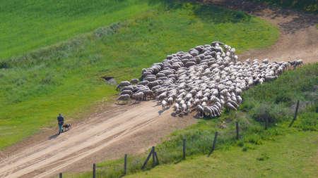 shepherd sheep: Sheep and shepherd