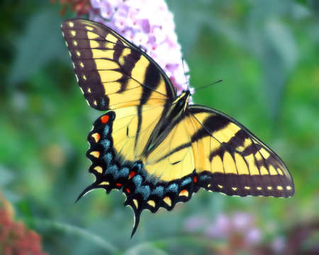 swallowtail: yellow swallowtail