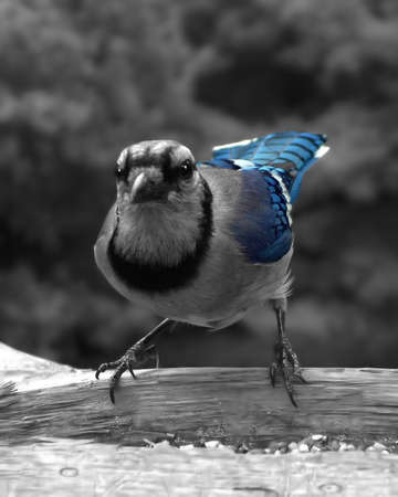black n blue jay