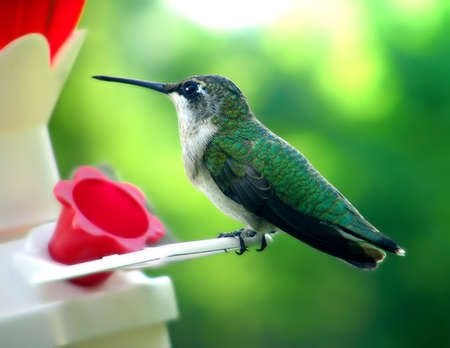 young hummer sitting on a perch feeding