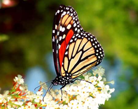 brilliant colors: monarca agradable con colores brillantes sobre una flor