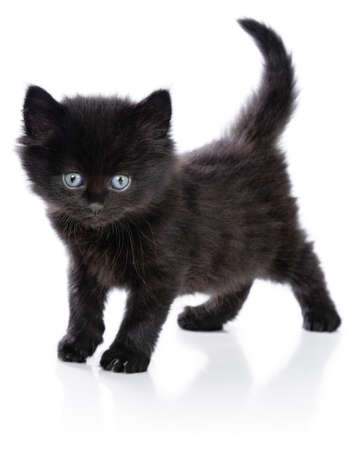 Black little kitten standing up on a white background