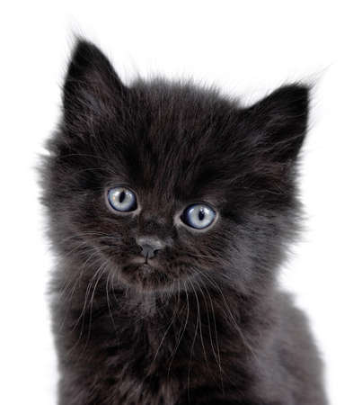 close-up of a black little kitten sitting down on a white background  Stock Photo - 12612392