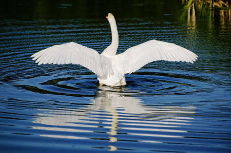A white swan stretching it s wings in a pond photo