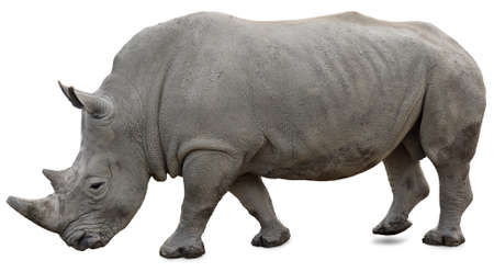 A white rhino on a white background yet visible photo