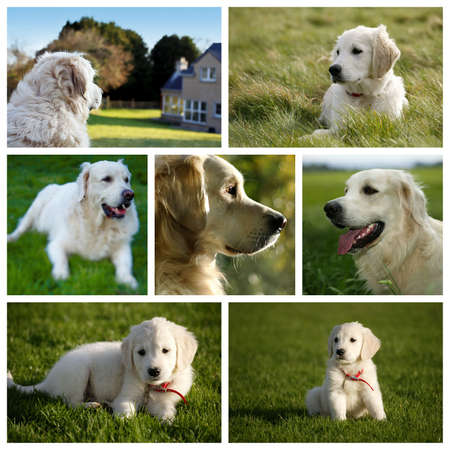 Composici�n de un Perro Labrador Golden Retriever