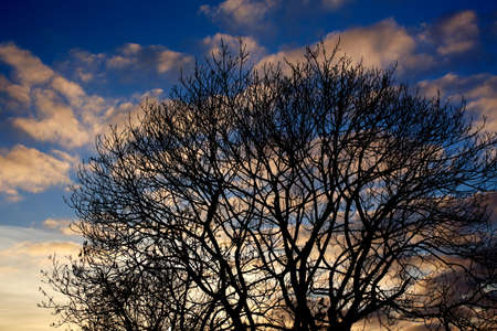 A silhouette of a tree on a background of evening sky with white clouds