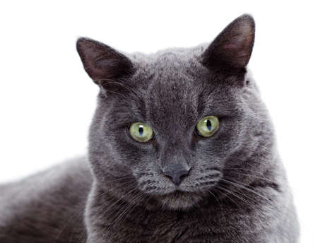 colouration: Green eyed Maltese cat also known as the British Blue on a white background Stock Photo