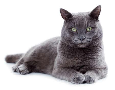 Grüne Augen maltesischen Katze auch als die britische Blau auf weißem Hintergrund bekannt Standard-Bild - 25274275