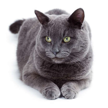 british shorthair: Green eyed Maltese cat also known as the British Blue on a white background Stock Photo