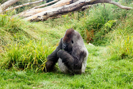 silverback: Male silver back gorilla eating green leafs while sitting on the grass Stock Photo