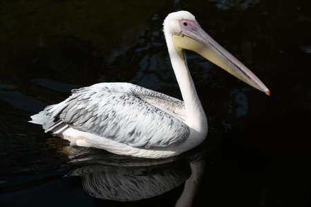 wingspread: Great White Pelican is one of the largest flying birds in world