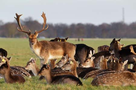 phoenix: Una manada de ciervos en el Parque Phoenix en Dublín, Irlanda, uno de los mayores parques de la ciudad amurallada en Europa de un tamaño de 1750 acres