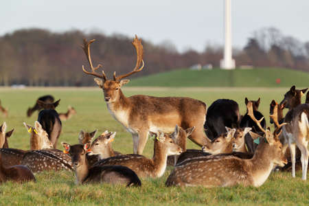 herd of deer: A herd of deer in the Phoenix Park in Dublin, Ireland, one of the largest walled city parks in Europe of a size of 1750 acres