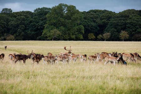 conservation grazing: A herd of deer in the Phoenix Park in Dublin, Ireland, one of the largest walled city parks in Europe of a size of 1750 acres