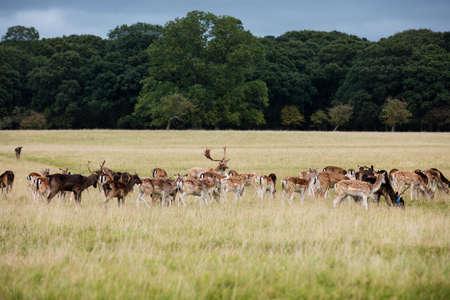 ave fenix: Una manada de ciervos en el Parque Phoenix en Dubl�n, Irlanda, uno de los mayores parques de la ciudad amurallada en Europa de un tama�o de 1750 acres