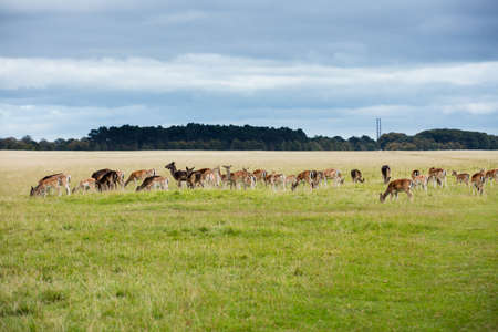 acres: A herd of deer in the Phoenix Park in Dublin, Ireland, one of the largest walled city parks in Europe of a size of 1750 acres