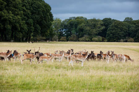 animal park: A herd of deer in the Phoenix Park in Dublin, Ireland, one of the largest walled city parks in Europe of a size of 1750 acres