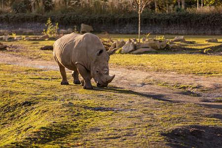 A rhino in dust at sundown in Dublin City Zoo, Ireland Reklamní fotografie