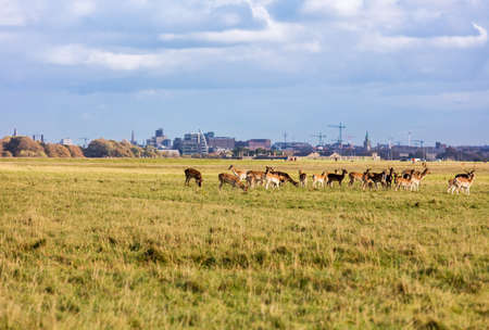 Wild Irish fauna, a herd of wild deer which roam and graze in Phoenix Park, Dublin, Ireland Stock Photo
