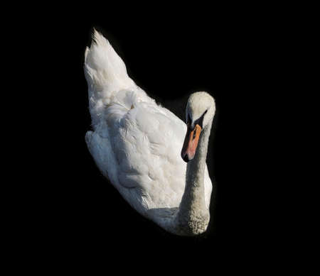 Swan floating in water