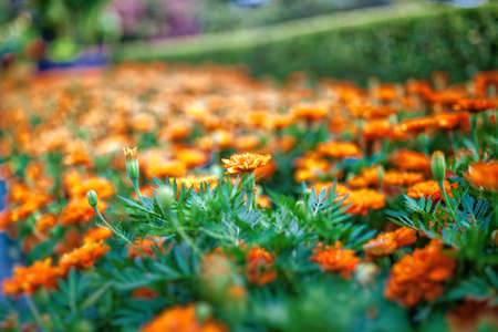 Orange Flowers field Stock Photo