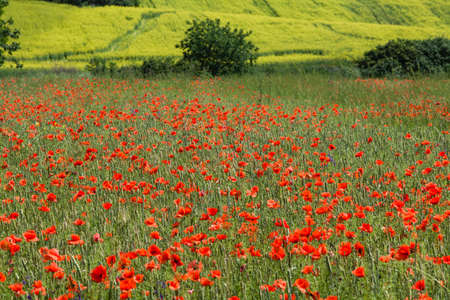 Field with poppies and green grass in spring Stock Photo