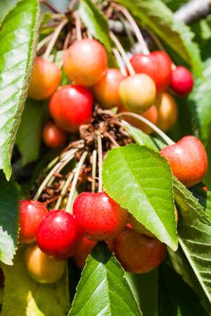 Cherry tree in the sunny garden. Bunch of Fresh cherry on branch in summer season Stock Photo