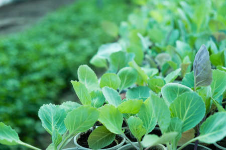 Young sprouts of cabbage seedlings in the garden. Greenhouse plants of growing cabbage sprouts with selective focus