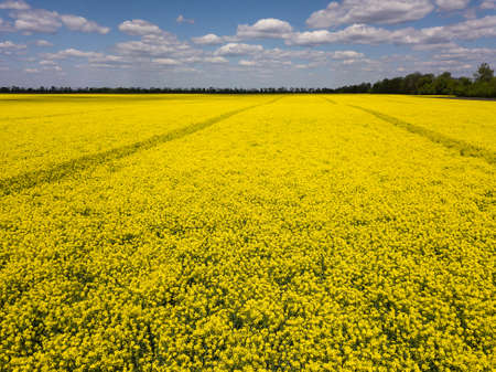 Colorful yellow spring crop of canola, rapeseed or rape viewed from above showing parallel tracks through the field. Aerial shot Reklamní fotografie