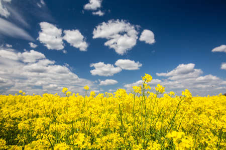 Colorful yellow spring fileds of canola, rapeseed or rape at sunny day with beautiful blue sky with white clouds