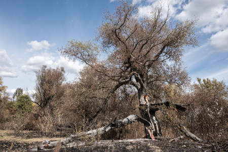 Burnt out tree with ash remnants of a forest fire