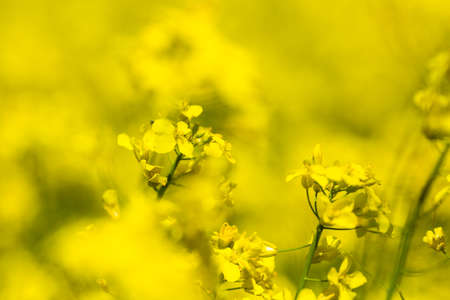 Closeup of yellow spring fileds of canola, rapeseed or rape at sunny day Reklamní fotografie