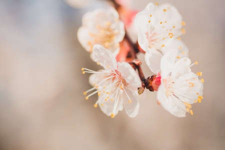 Macro shot of branch with pink apricot tree flowers in full bloom with blurred background in a garden in a sunny spring day, beautiful outdoor floral background