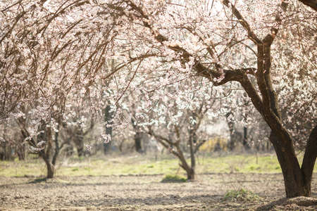Blooming pink apricot garden trees with blurred background and place for text